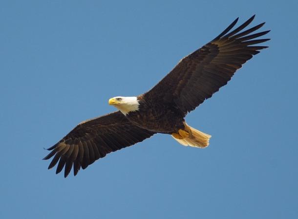 eagle-864725_640