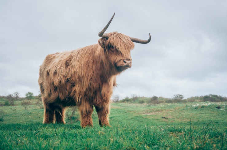 highland cow.jpeg